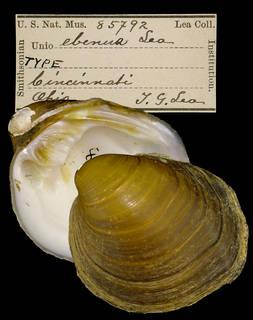 To NMNH Extant Collection (IZ MOL 85792 Unio ebenus Holotype)