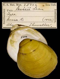 To NMNH Extant Collection (IZ MOL 85806 Unio lewisii Holotype)
