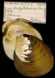 To NMNH Extant Collection (IZ MOL 85823 Unio subglobatus Holotype)