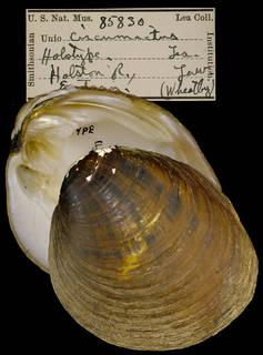 To NMNH Extant Collection (IZ MOL 85830 Unio circumactus Holotype)