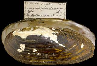 To NMNH Extant Collection (IZ MOL 85863 Unio subcylindraceus Holotype)