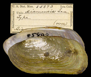 To NMNH Extant Collection (IZ MOL 85893 Unio siamensis Holotype)