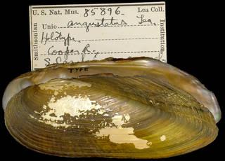 To NMNH Extant Collection (IZ MOL 85896 Unio angustatus Holotype)