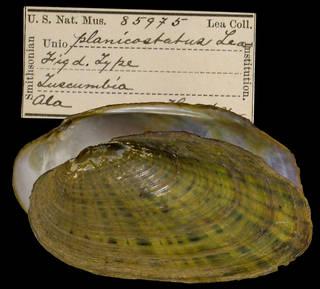 To NMNH Extant Collection (IZ MOL 85975 Unio planicostatus)