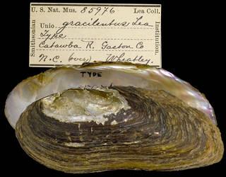 To NMNH Extant Collection (IZ MOL 85976 Unio gracilentus Holotype)