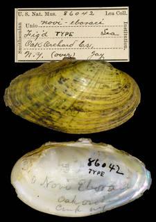 To NMNH Extant Collection (IZ MOL 86042 Unio novieboraci Holotype)
