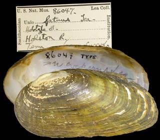 To NMNH Extant Collection (IZ MOL 86047 Unio ffatuus Holotype)