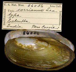 To NMNH Extant Collection (IZ MOL 86056 Unio corrianus Type)