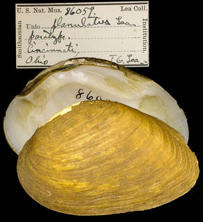 To NMNH Extant Collection (IZ MOL 8059 Unio planulatus Paratype)