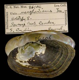 To NMNH Extant Collection (IZ MOL 86106 Unio vaughanianus Holotype)