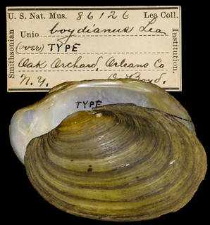 To NMNH Extant Collection (IZ MOL 86126 Unio boydianus Holotype)