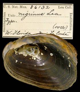 To NMNH Extant Collection (IZ MOL 86132 Unio nigrinus Holotype)