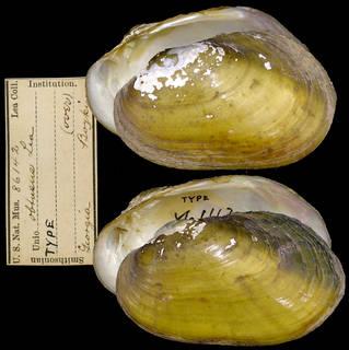 To NMNH Extant Collection (IZ MOL 86142 Unio obtusus Syntype)