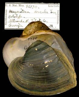 To NMNH Extant Collection (IZ MOL 86170 Margaritana arcula Type)