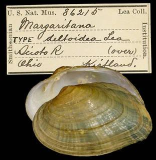 To NMNH Extant Collection (IZ MOL 86215 Margaritana deltoidea Type)