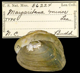 To NMNH Extant Collection (IZ MOL 86224 Margaritana minor Holotype)