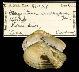 To NMNH Extant Collection (IZ MOL 86227 Margaritana curreyiana Type)