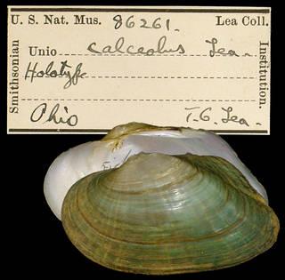 To NMNH Extant Collection (IZ MOL 86261 Unio calceolus Type)