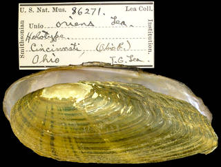 To NMNH Extant Collection (IZ MOL86271 unio oriens Holotype)