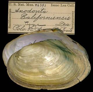 To NMNH Extant Collection (IZ MOL 86393 Anodonta califoriensis Holotype)