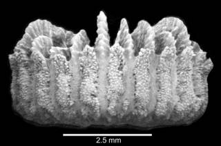 To NMNH Extant Collection (Lateral view of corallum)