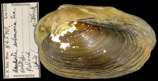 To NMNH Extant Collection (IZ MOL 85640 Anodonta salmonia Type)
