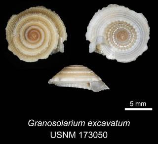 To NMNH Extant Collection (IZ MOL 173050 Granosolarium excavatum Holotype)