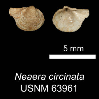 To NMNH Extant Collection (IZ MOL 63961 Neaera circinata Syntype)
