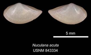 To NMNH Extant Collection (IZ MOL 843334 Nuculana acuta)