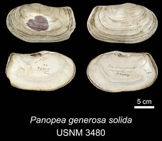 To NMNH Extant Collection (IZ MOL 3480 Panopea generosa solida Holotype)