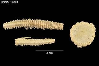 To NMNH Extant Collection (Brisinga multicostata USNM 12074 - Dorsal)