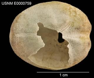 To NMNH Extant Collection (Brissopsis circosemita USNM E0000759 - Dorsal)