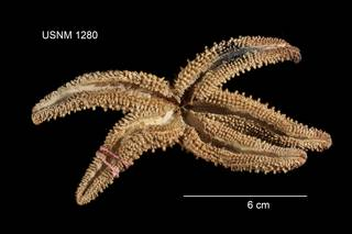 To NMNH Extant Collection (Asterias capitata USNM 1280 - ventral)