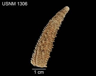 To NMNH Extant Collection (Asterias troschelii USNM 1306 - dorsal)