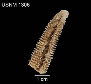 To NMNH Extant Collection (Asterias troschelii USNM 1306 - ventral)
