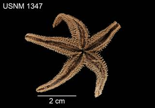 To NMNH Extant Collection (Asterias compta USNM 1347 - ventral)