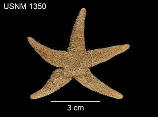 To NMNH Extant Collection (Asterias cribraria USNM 1350 - dorsal)