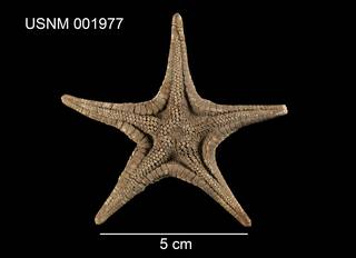 To NMNH Extant Collection (Mediaster aequalis USNM 001977 - ventral)