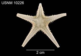 To NMNH Extant Collection (Pectinaster mixtus USNM 10226 - dorsal)