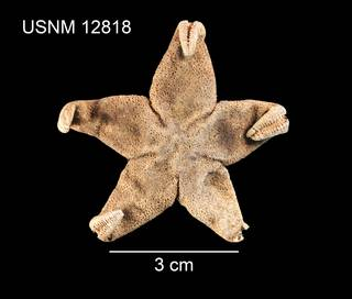 To NMNH Extant Collection (Henricia artica USNM 12818 - dorsal)