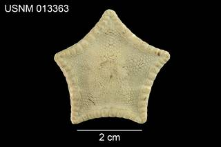 To NMNH Extant Collection (Pentagonaster simplex USNM 013363 - dorsal)