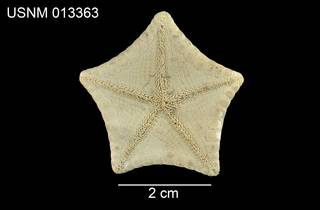 To NMNH Extant Collection (Pentagonaster simplex USNM 013363 - venral)