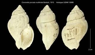 To NMNH Extant Collection (Cominella porcata multilirata Holotype USNM 16986)