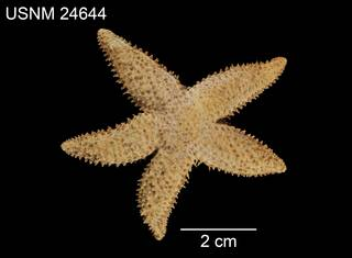 To NMNH Extant Collection (Asterias austera USNM 24644 - dorsal)