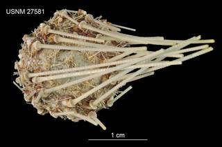 To NMNH Extant Collection (Aspidodiadema arcitum USNM 27581 - dorsal)