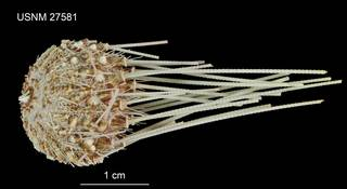 To NMNH Extant Collection (Aspidodiadema arcitum USNM 27581 - lateral)