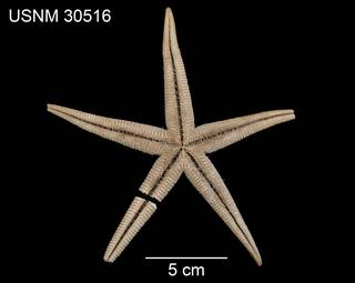 To NMNH Extant Collection (Ctenophoraster diploctenius USNM 30516 - ventral)