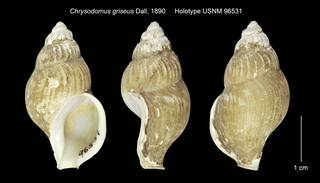To NMNH Extant Collection (Chrysodomus griseus Holotype USNM 96531)