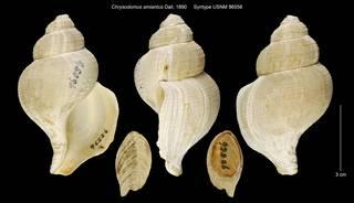 To NMNH Extant Collection (Chrysodomus amiantus Syntype USNM 96556)