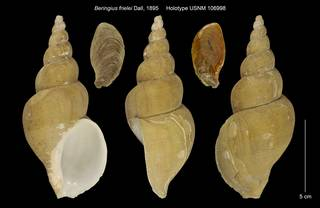 To NMNH Extant Collection (Beringius frielei Holotype USNM 106998)
